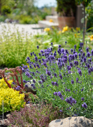 Lavender - 163816101