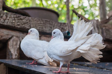 White Pigeon Fantail In Case.