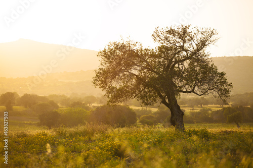 Olive tree at sunset light