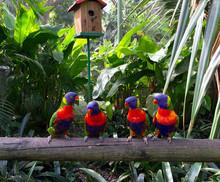 Perroquets Multicolores Guadel...