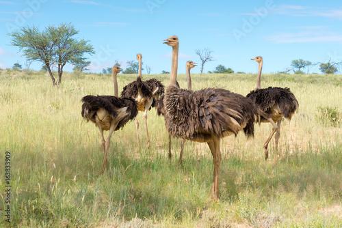 eine Gruppe von Vogel Strauß, struthio camelus, im Kgalagadi-Transfrontier-Nationalpark, Südafrika