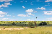 Eine Herde Von Oryx Antilopen Im Auob Tal, Unberührte Natur Im Kgalagadi-Transfrontier-Nationalpark, Südafrika