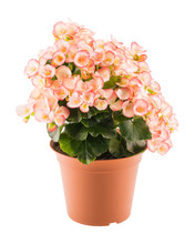 Pink Begonia In The Flowerpot