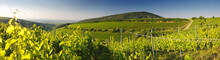 Vineyard In Villany Hungary, P...
