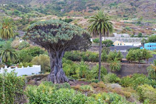 Fotografía  Drago de Icod de los Vinos, Tenerife