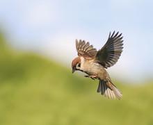 Little Bird Sparrow Flits In T...