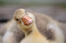 Gosling Or Duckling Looking Funny