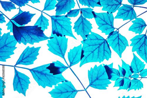 Closeup art tone of fresh blue leaves isolated on white background