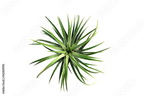 Poster Vegetal Green Tillandsia. (air plant with scientific name Tillandsia)
