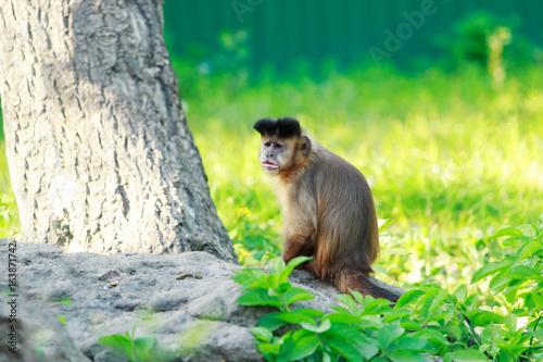 Photo brown capuchin monkey