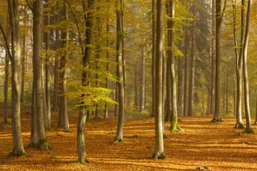 FototapetaMorning Forest/ Kashubia, Poland