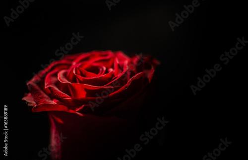 Keuken foto achterwand Roses Stranger