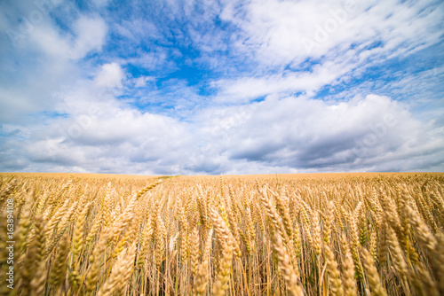 Fotobehang Cultuur A field of ripe wheat road and a blue sky with clouds. Panoramic view