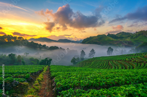 Foto op Aluminium India Light morning mist the strawberry farm is Ang Khang in Thailand.