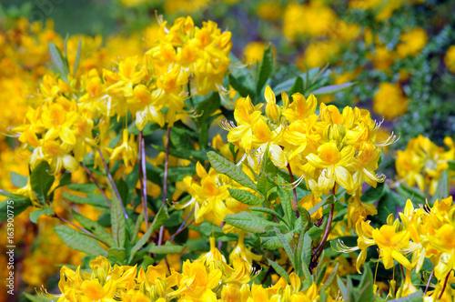 Fotomagnes żółty krzew azalii kwitnący wiosną