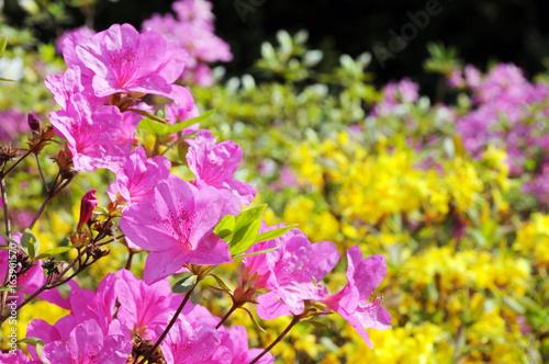 Fotomagnes różowy Azalia krzak kwitnący wiosną