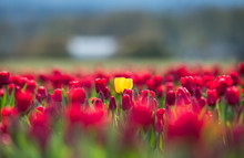 One Yellow Tulip Surrounded By...