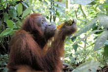 Orangutan Im Regenwald Bei Buk...