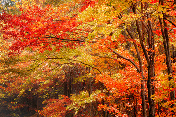 Fototapeta Do sypialni Fall Leaves in the Blue Ridge Mountains near Asheville North Carolina
