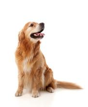 Beautiful Golden Retriever Dog...