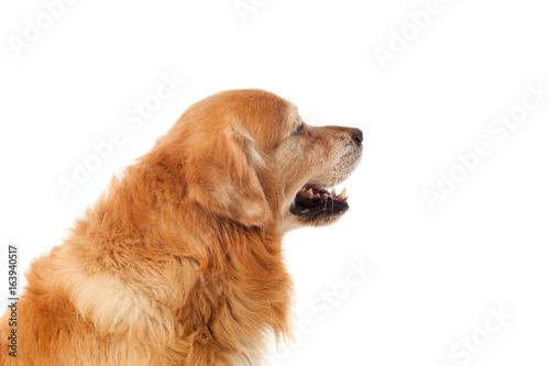 Tuinposter Eekhoorn Beautiful Golden Retriever dog breed