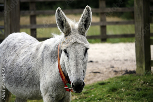 Poster Ezel White donkey