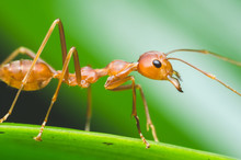 Red Ant Stand On Green Leaf Wi...