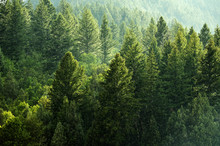 Pine Forest During Rainstorm Lush Trees