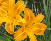 Two Bright Orange Day Lily Blo...