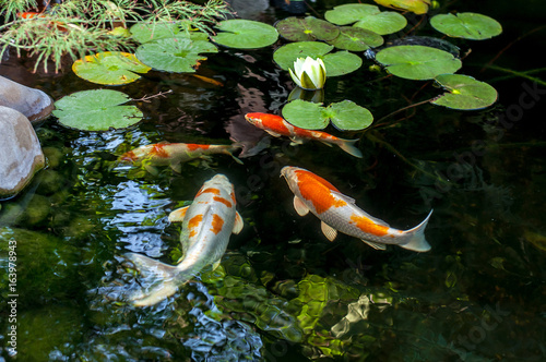 Valokuva Colorful decorative fish float in an artificial pond, view from above