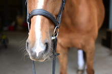 Chestnut Mare Wearing Snaffle ...