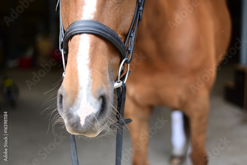 Chestnut mare wearing snaffle bridle Fototapeta