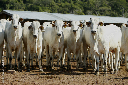 Poster de jardin Vache Fazenda de gado - MT