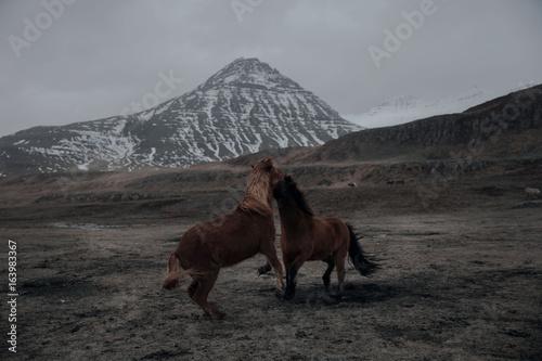 Obrazy na płótnie Canvas Icelandic Horses