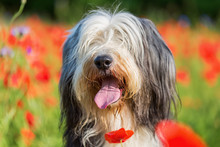 Portrait Of A Bearded Collie I...