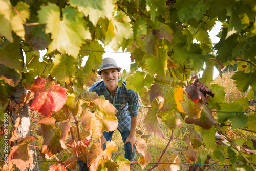 Young farmer is looking at camera through the grape leaves while harvesting ripe grapes in vineyard