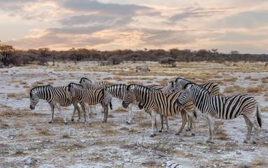 Fototapeta na wymiar Zebra in african bush. Africa safari