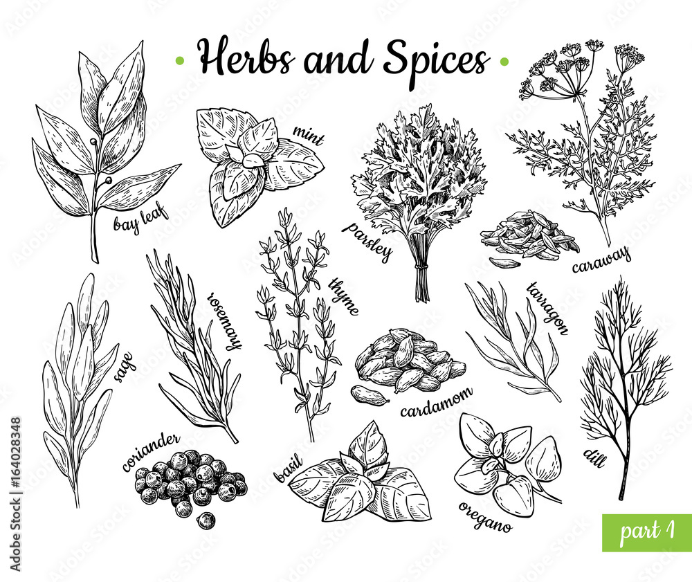 Fototapety, obrazy: Herbs and Spices. Hand drawn vector illustration set. Engraved style flavor and condiment drawing. Botanical vintage food sketches.