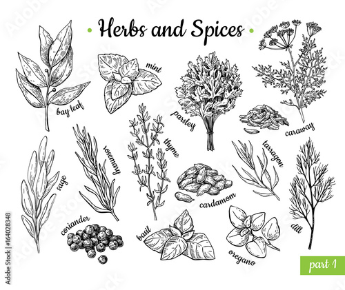 Herbs and Spices. Hand drawn vector illustration set. Engraved style flavor and condiment drawing. Botanical vintage food sketches. Wall mural