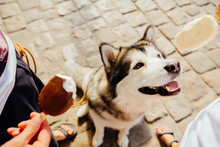 Outdoors Portrait Of A Female Alaskan Malamute Dog Standing Against Leg, Looking Up At Ice Cream Over Paving Stone Background.