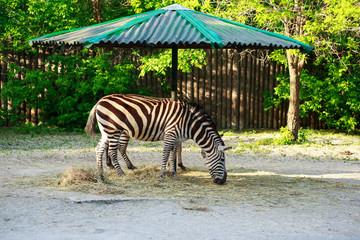 Fototapeta na wymiar The wild zebra