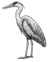 Grey, Common Heron Illustration, Drawing, Engraving, Ink, Line Art, Vector