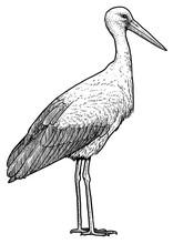 White Stork Illustration, Drawing, Engraving, Ink, Line Art, Vector