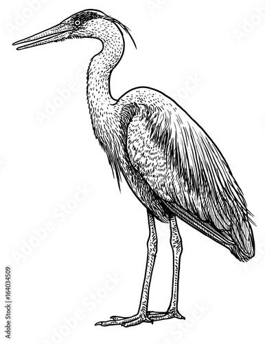 Obraz na płótnie Grey, common heron illustration, drawing, engraving, ink, line art, vector