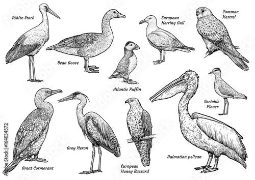 Naklejka premium Kolekcja ilustracji ptaków, rysunek, grawerowanie, atrament, grafika liniowa, wektor
