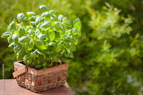Fototapeta fresh basil herb in garden obraz