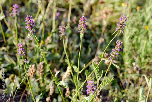 Stachys officinalis flowers also known as common hedgenettle, betony, purple bet Canvas Print