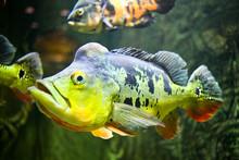 Fish (Orinoco Peacock Bass, Cy...