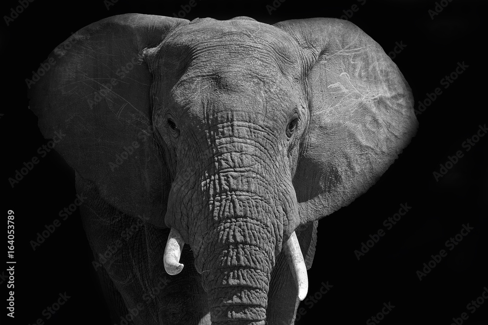 Large African elephant walking into the light