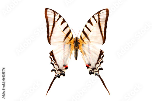 White butterfly eurytides protesilaus Canvas Print
